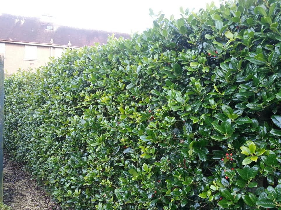 Hulsthaag (Ilex aquifolium) haag