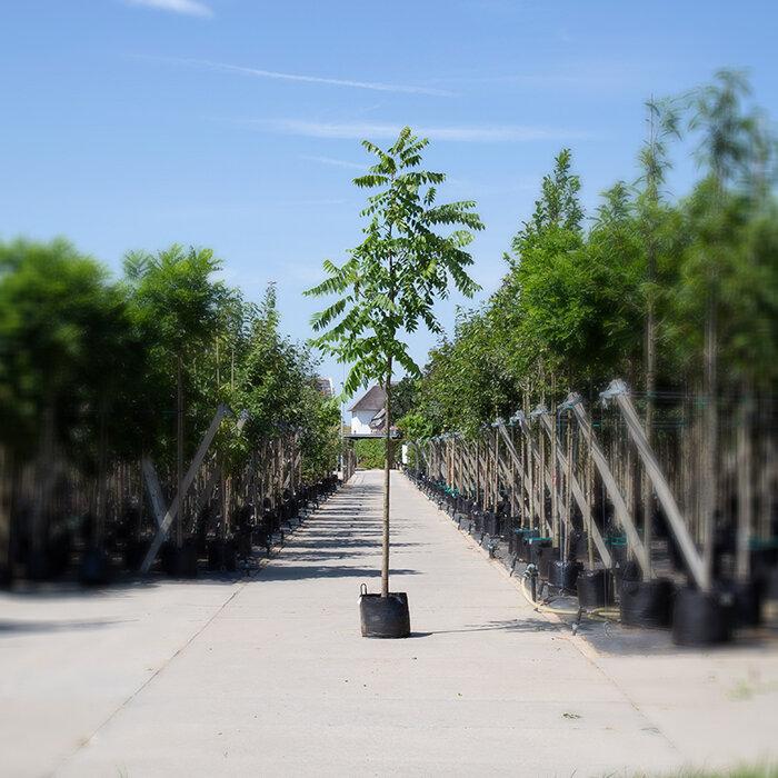Zwarte walnotenboom (Juglans nigra)