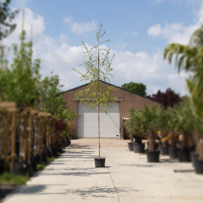 10 - 14 cm stamomtrek - 3 tot 4 meter totaalhoogte