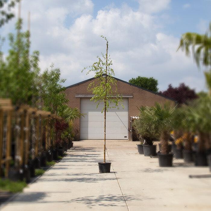 6 - 10 cm stamomtrek - 2 tot 3 meter totaalhoogte