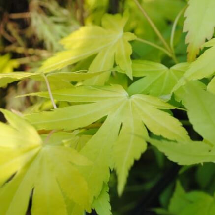 Japanse esdoorn groen