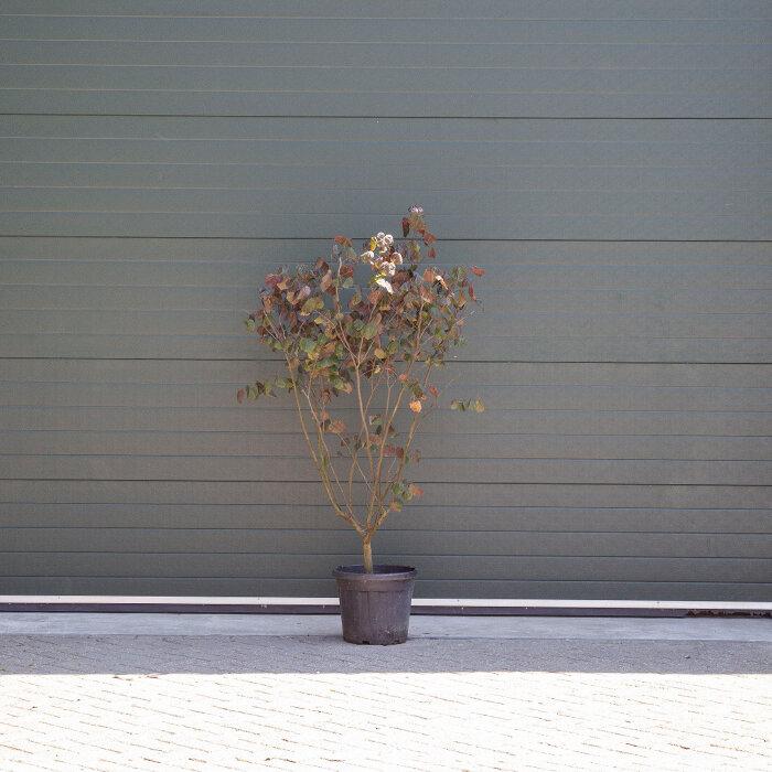 Amerikaanse judasboom meerstammig