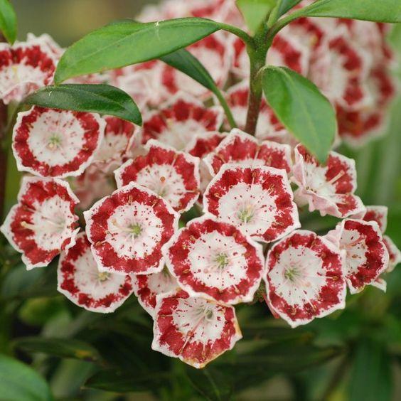 Kalmia latifolia 'Sterntaler'