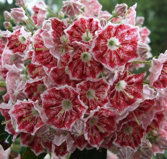 Kalmia latifolia 'Pinwheel'