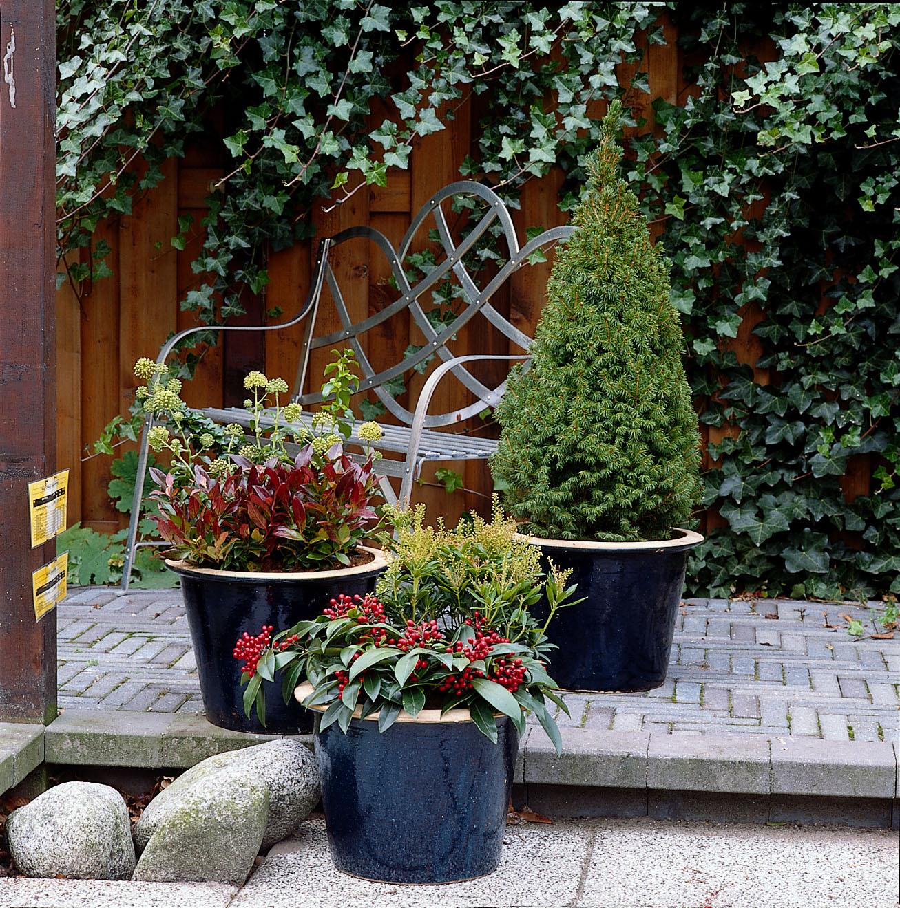 Kerstboom klein, de Picea glauca 'Conica'