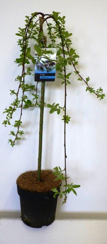 Salix Caprea 'Kilmarnock' 90 cm