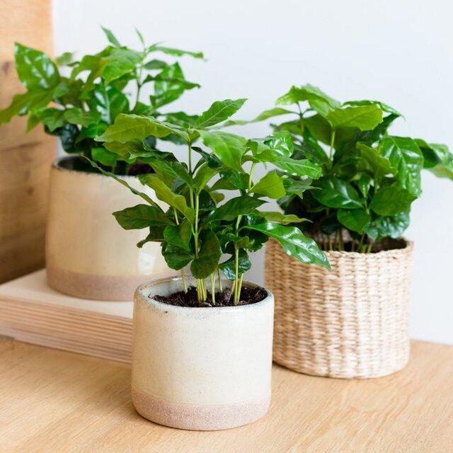 Coffea arabica (koffieplant)