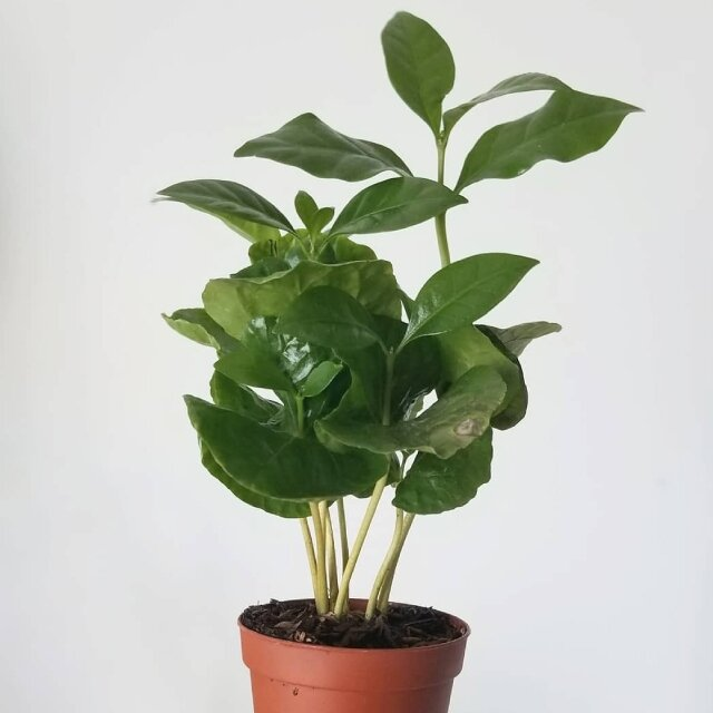 Spathiphyllum (lepelplant)