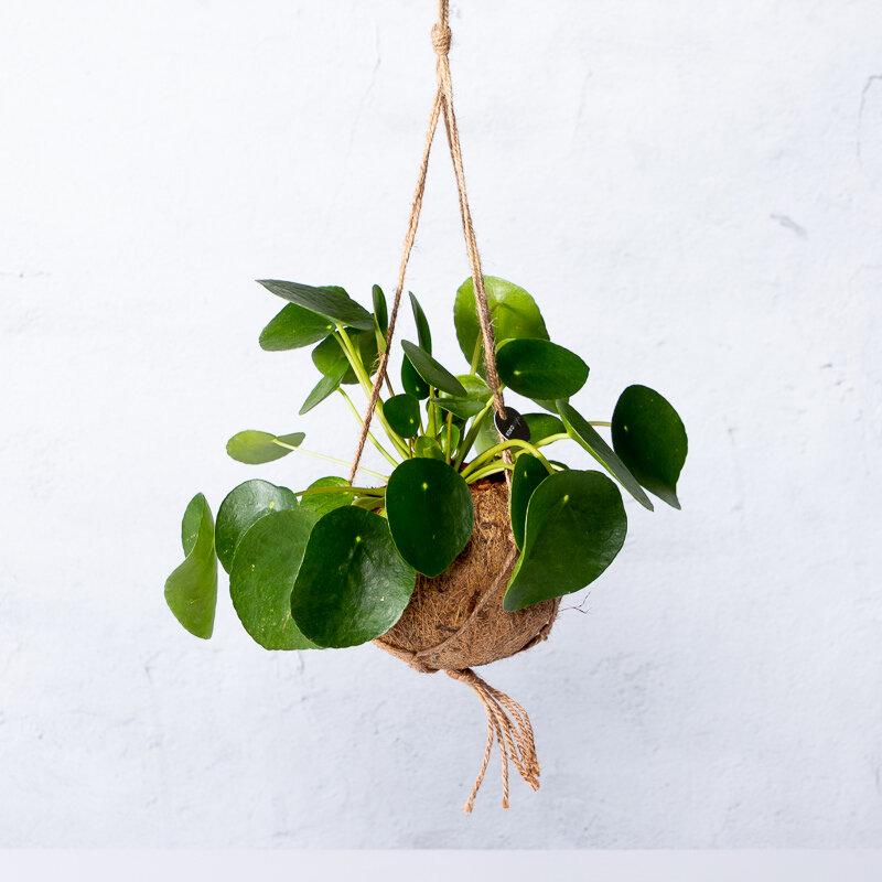 Kokodama Pilea Peperomioides (Pannenkoekplant)