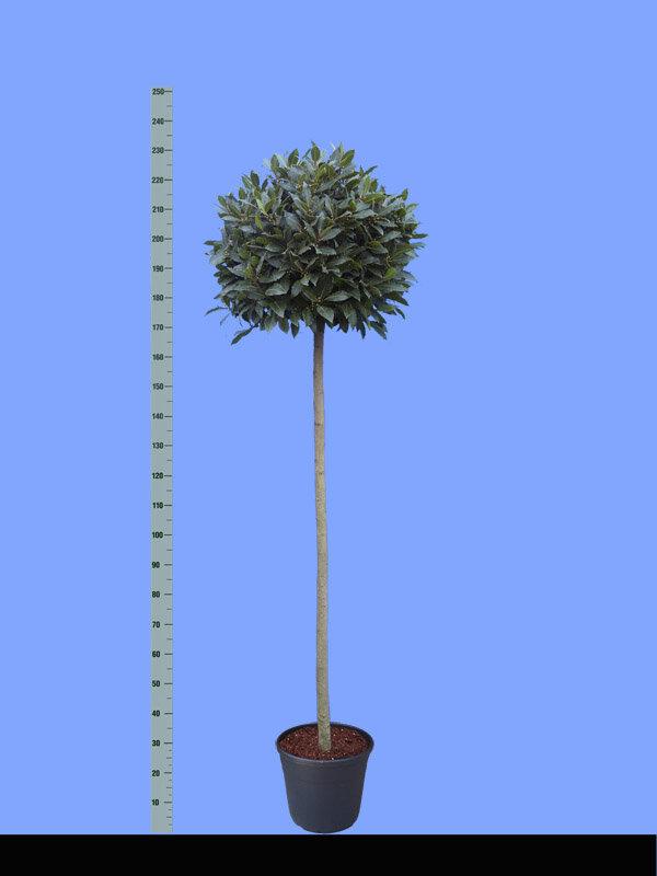 Laurier op stam