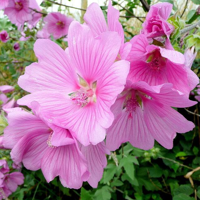 Lavatera roze
