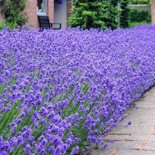 Lavendel In Grote Pot.Lavandula Angustifolia Hidcote Kopen Tuincentrum Nl