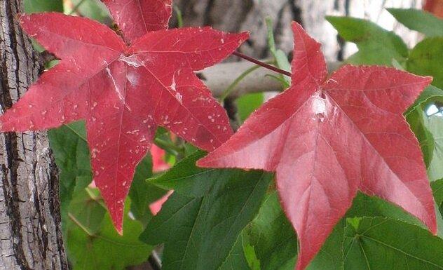 Lei amberboom herfstverkleuring