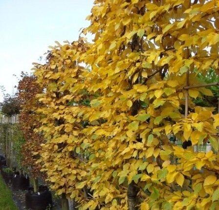 lei Carpinus betulus herfstkleur
