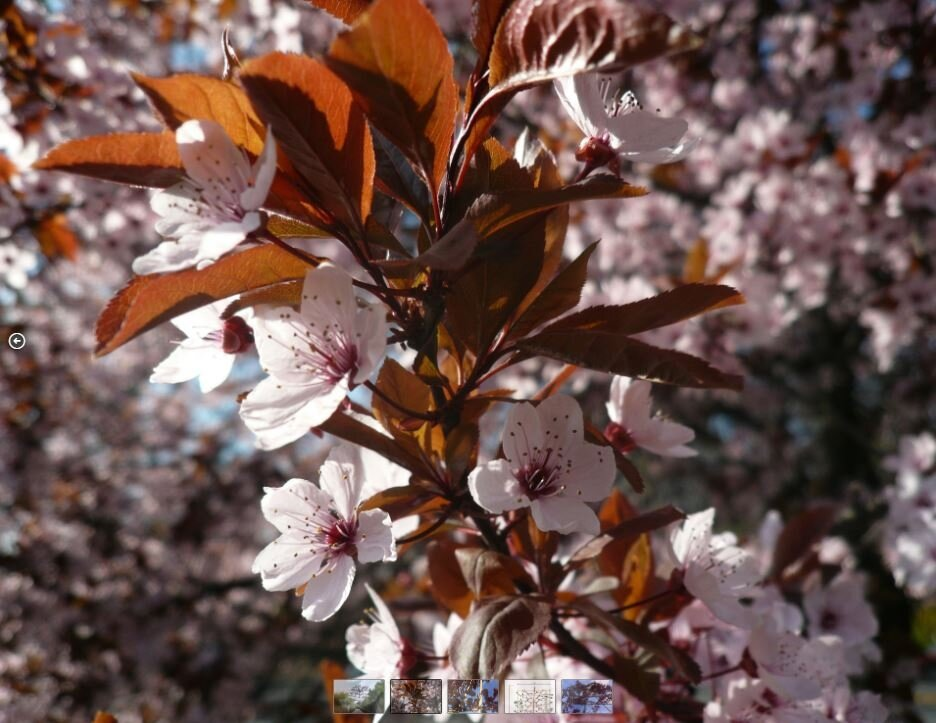 Lei Sierpruim (Prunus cer. Nigra)