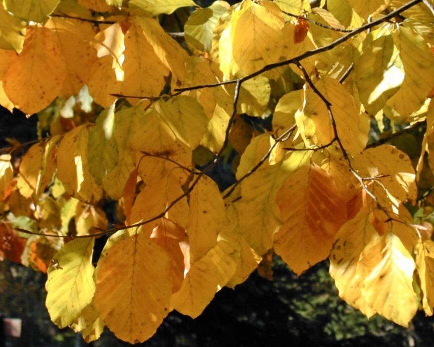 Beuk in herfstkleur