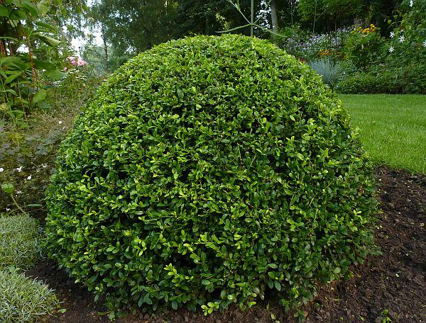 Ligustrum vulgare 'Lodense' struik