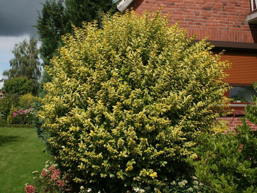 ligustrum ovalifolium 'Aureum' struik