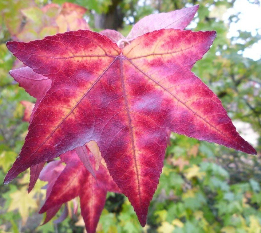 Liquidambar styraciflua 'Autumn Color Globe'