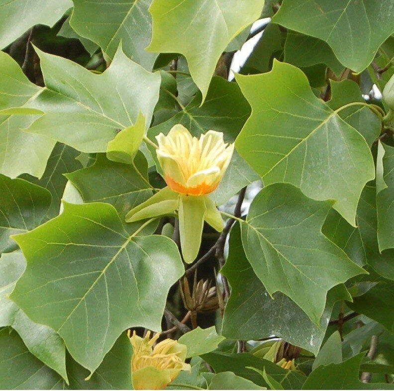 Liriodendron tulipifera 'Aureomarginatum' blad