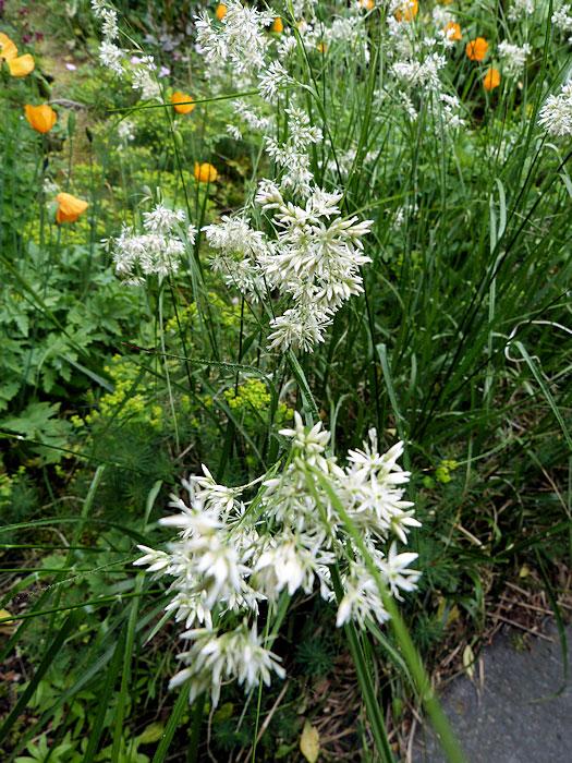 Luzula nivea bloemen