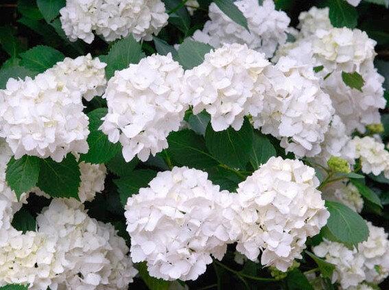 Boerenhortensia wit