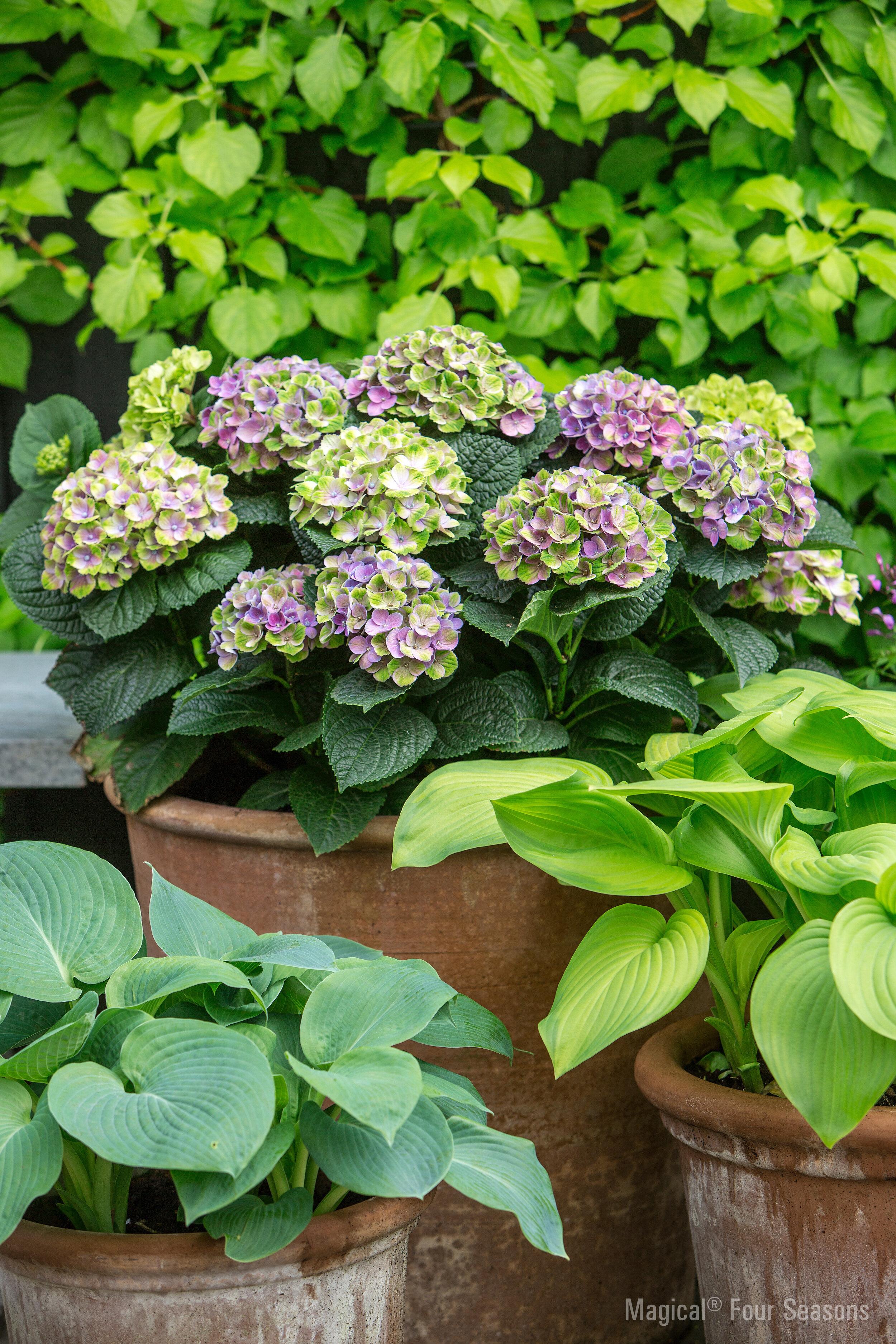 hydrangea macrophylla 39 magical amethyst 39 kopen. Black Bedroom Furniture Sets. Home Design Ideas