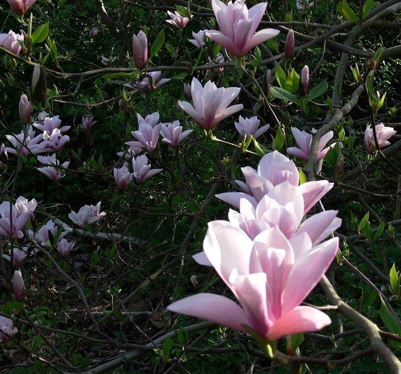 Magnolia 'Heaven scent' bloemen