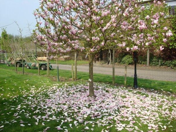 Magnolia Heaven Scent Kopen Tuincentrumnl