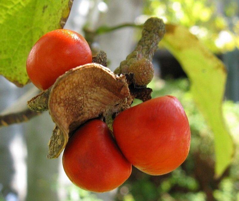Magnolia kobus zaaddozen