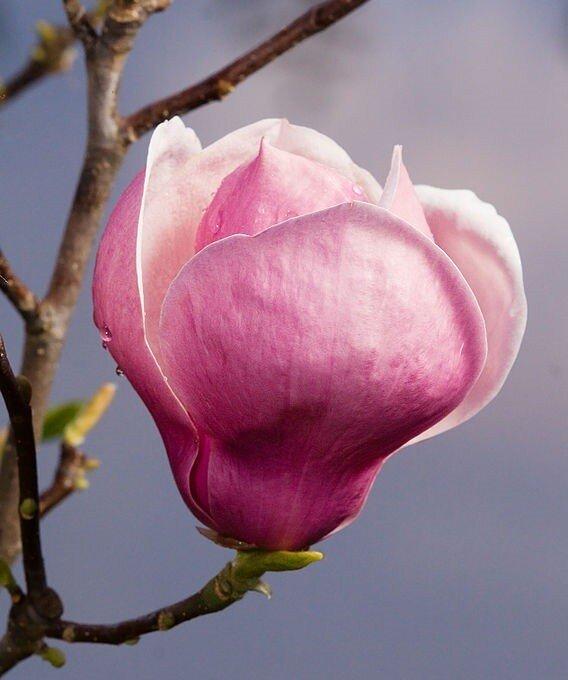 Magnolia soulangeana bloem