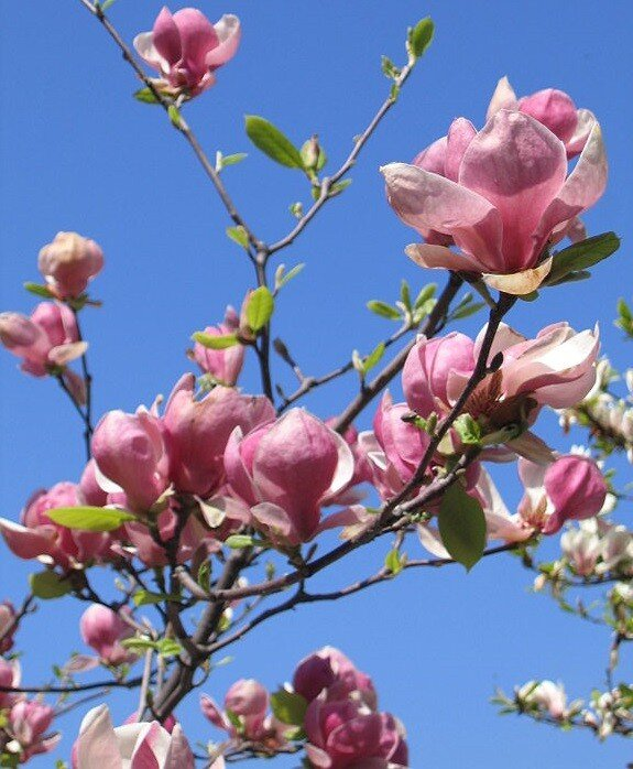 Magnolia soulangeana bloemtakken