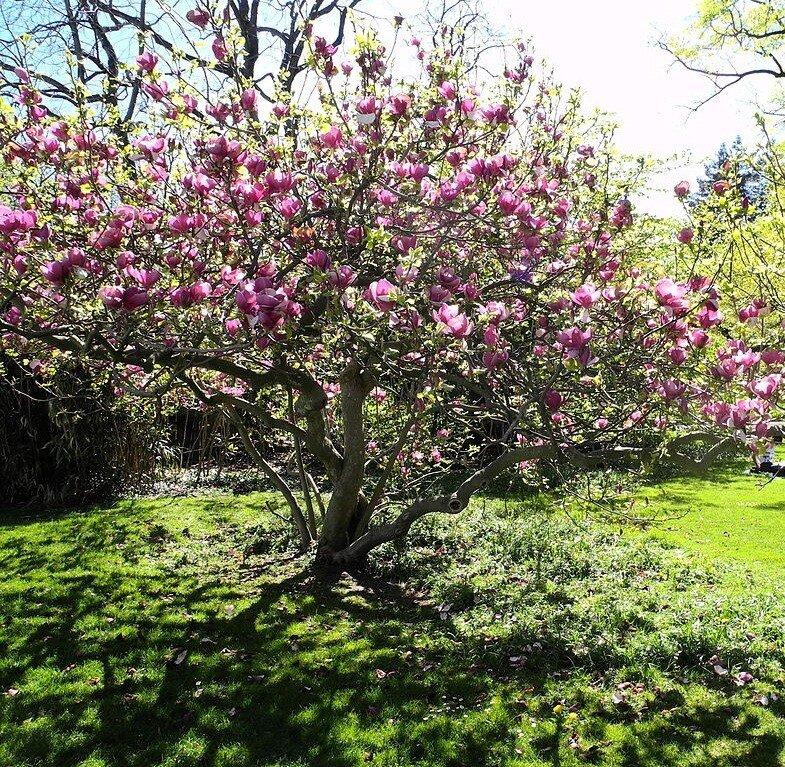 Magnolia soulangeana als boom