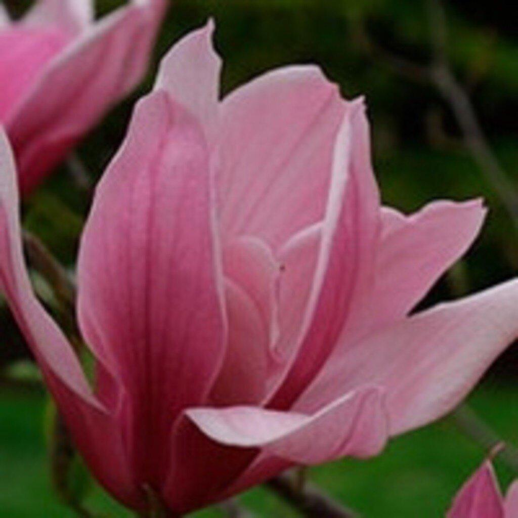Magnolia 'Spectrum' blad