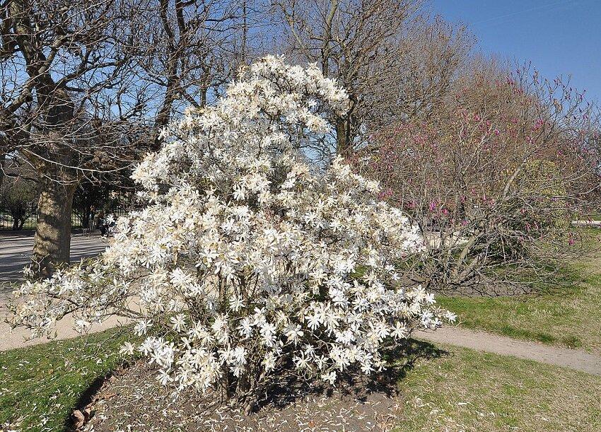 Magnolia stellata solitair