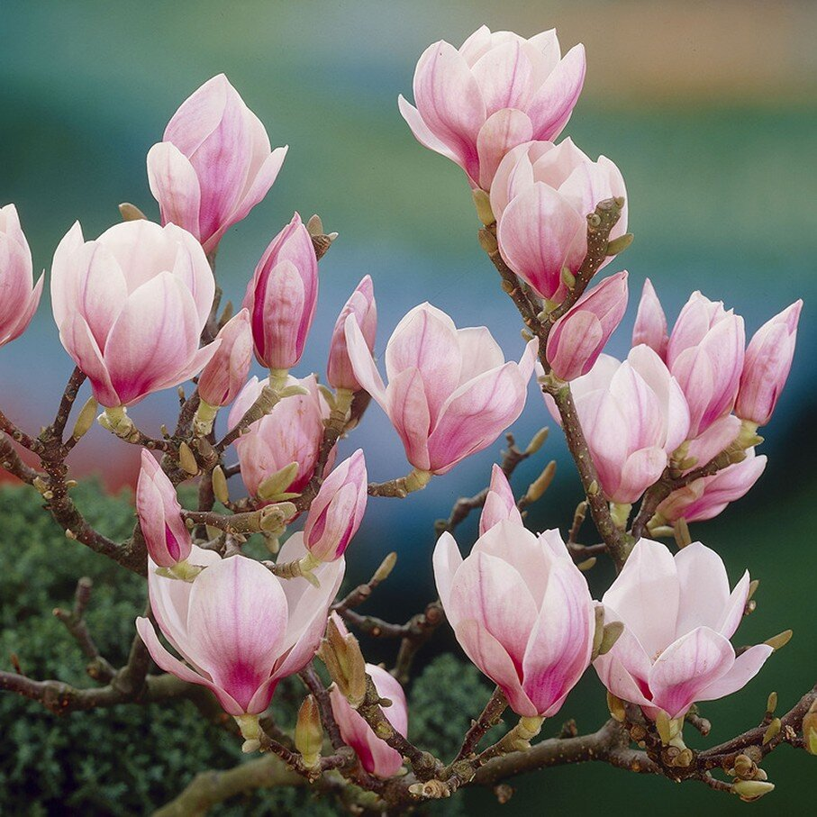 magnolia soulangeana kopen. Black Bedroom Furniture Sets. Home Design Ideas
