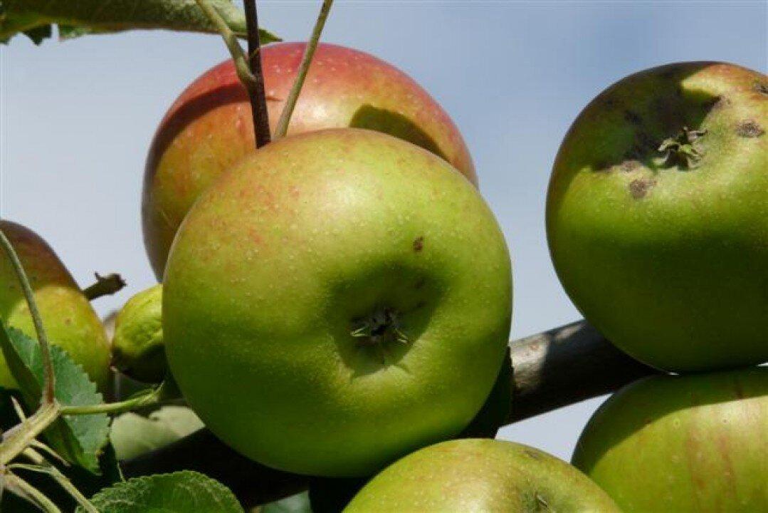 Appelboom 'Benoni' halfstam (zelfbestuivend)