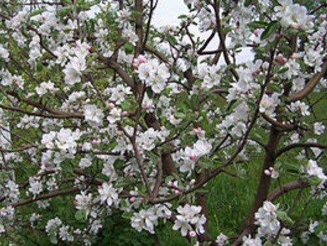 Appelboom 'Benoni' halfstam (zelfbestuivend) bloesem