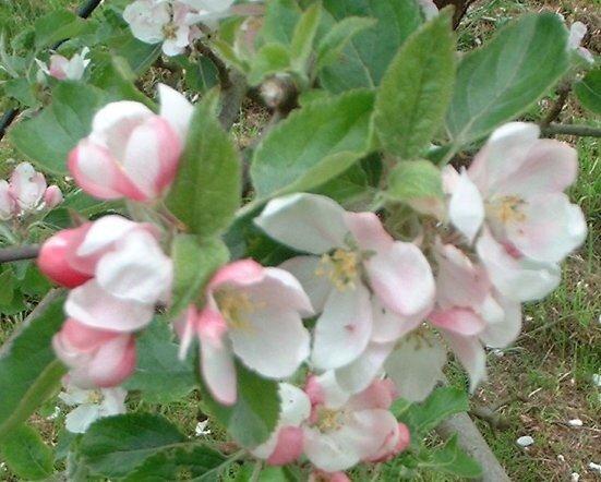 Appelboom 'Cox's Orange Pippin' leivorm laag (kruisbestuivend)