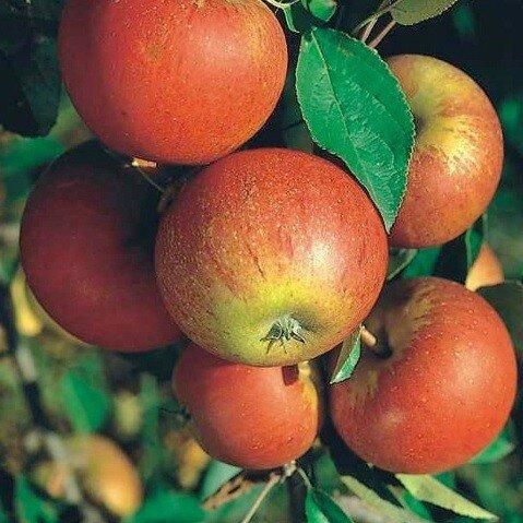 Malus domestica 'Cox's Orange Pippin' (leivorm)