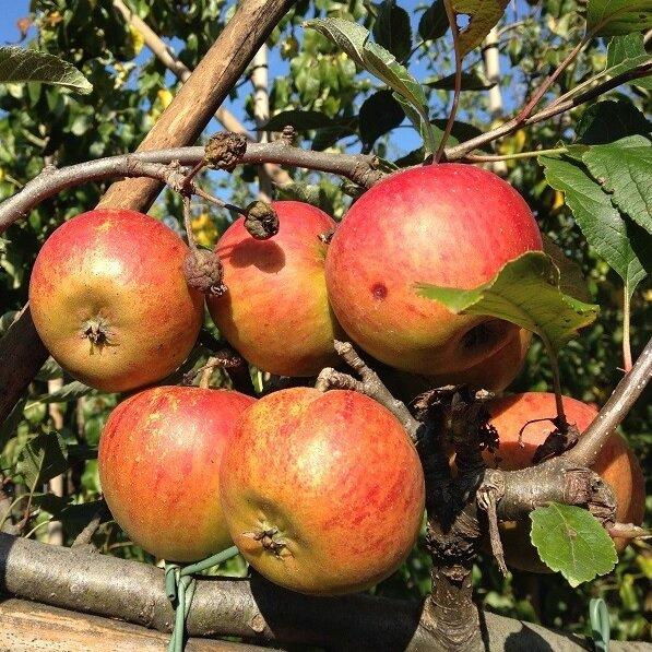 Appelboom 'Cox's Orange Pippin' halfstam
