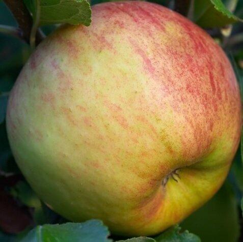 Appelboom 'Elstar' halfstam (zelfbestuivend)