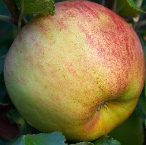 Appelboom 'Elstar' hoogstam (zelfbestuivend) appel