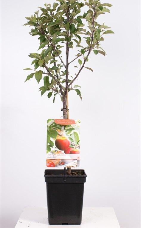 Appelboom 'Elstar' patio (zelfbestuivend)