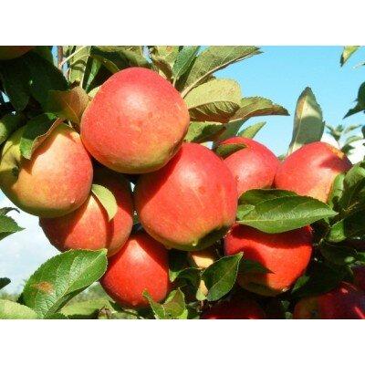 Appelboom 'Elstar' hoogstam (zelfbestuivend)
