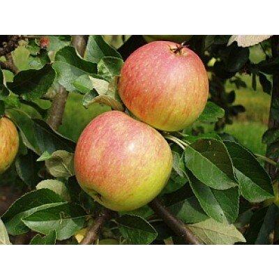 Appelboom 'James Grieve' leivorm laag (zelfbestuivend)
