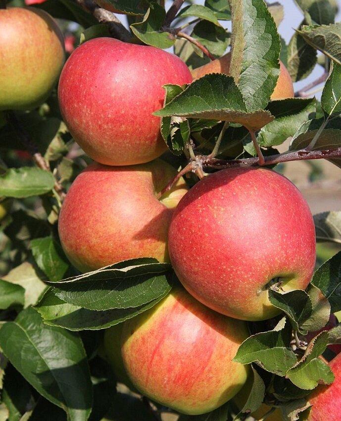 Malus domestica 'Rode Jonagold' appels