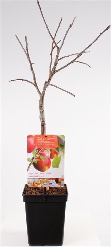 Appelboom 'Jonagold' patio (zelfbestuivend)