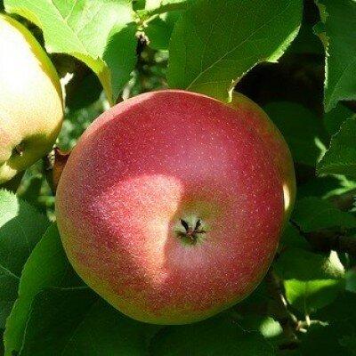 Appelboom 'Jonagold' halfstam (zelfbestuivend)