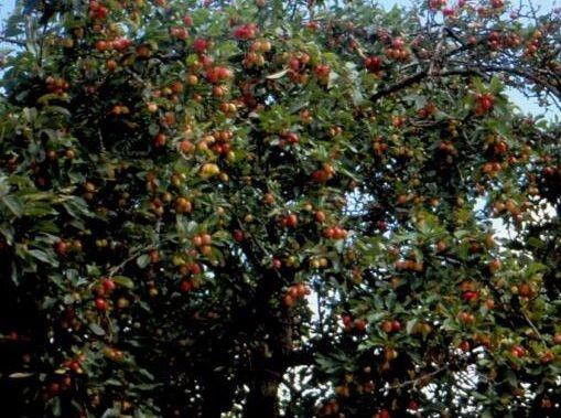 Malus 'Veitch's Scarlet' sierappels